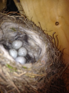 pied wagtail eggs in house