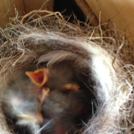 pied wagtail chicks in a house